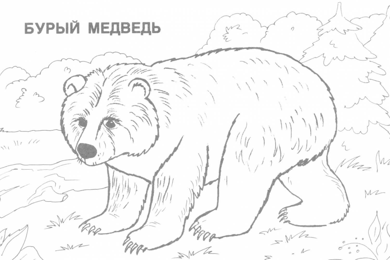 Бурый медведь - раскраски животных - скачать и напечатать раскраску.  Игры.  Поделки.  Детские песни.